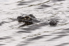 Closeup picture of hunting cayman in water, Everglades National Stock Photo