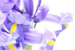Closeup picture of iris Stock Image