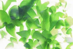 Closeup picture of ivy leaves Stock Image