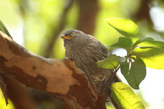 Closeup picture of Jungle babbler bird Royalty Free Stock Photography