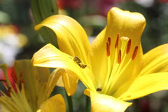 Closeup picture of lily Royalty Free Stock Image
