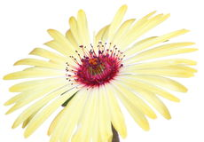 Closeup picture of Livingstone Daisy Stock Images