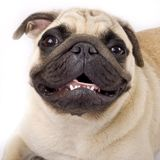Closeup picture of a mops-pug Stock Image