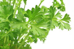 Closeup picture of parsley in a white background Stock Photo