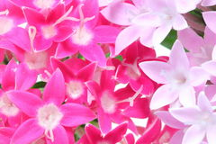 Closeup picture of Pentas Royalty Free Stock Photo