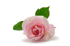 Closeup picture of pink Rose Royalty Free Stock Photo