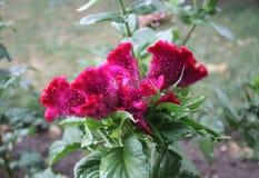 Celosia argentea closeup Stock Image