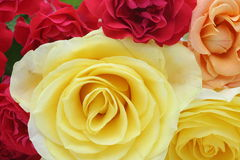Closeup picture of rose Stock Images