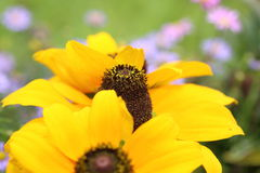 Closeup picture of rudbeckia Stock Photo