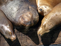 Closeup Picture of Sealion's Head Royalty Free Stock Photography
