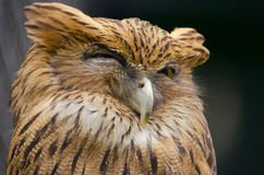 Sleepy Owl Royalty Free Stock Photos