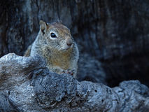 Closeup Picture of Squirrel Royalty Free Stock Photo