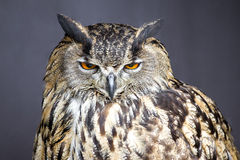 Closeup picture of stare-looking eagle owl. Detail royalty free stock image