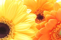 Closeup picture of transvaal daisy Royalty Free Stock Photography