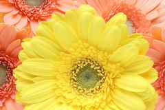 Closeup picture of transvaal daisy Royalty Free Stock Photo