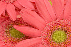 Closeup picture of transvaal daisy Stock Photos