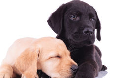 Closeup picture of two adorable labrador retriever puppies resti Royalty Free Stock Photos