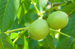 Closeup picture of unripe walnuts Royalty Free Stock Image