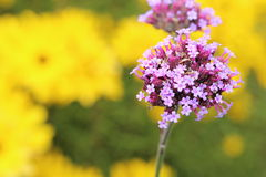 Closeup picture of vervain Royalty Free Stock Photo