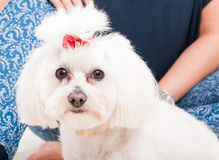 Closeup picture of a white cute bichon Stock Images