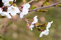 Closeup picture of Wild cherry blossoms Stock Photos