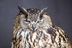 Closeup picture of winking eagle owl Stock Photos
