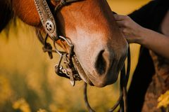 A detail of a horse with a western bridle. A closeup picture of a woman adjusting her horse`s western bridle with a bit stock images