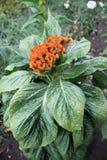 Celosia argentea closeup Stock Photography