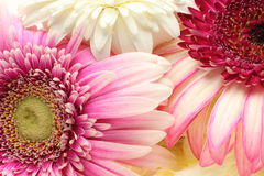 Closeup pictured of Transvaal daisy Stock Photo