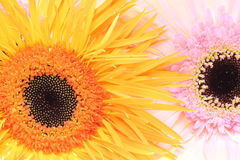 Closeup pictured of Transvaal daisy Royalty Free Stock Photography