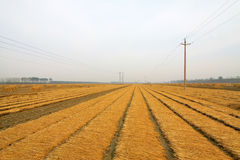Rice harvested Royalty Free Stock Photography