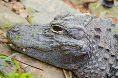 Closeup picutre of a Chinese alligator Royalty Free Stock Photography