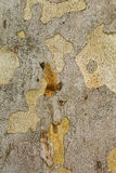 Closeup piece of tree bark Platunus Royalty Free Stock Images