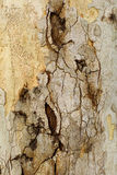 Closeup piece of tree bark Platunus (Sycamore) Royalty Free Stock Photo
