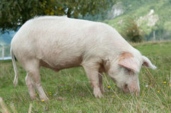 Closeup on pig eating Royalty Free Stock Photography