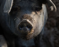 Closeup of a pig snout. Funny closeup of a pig with its dirty snout stock photo