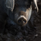 Closeup of a pig snout Stock Images