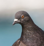 Closeup of pigeon Stock Image