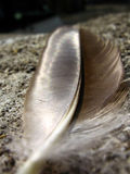 Closeup of a pigeon feather Stock Image