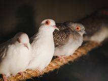 Closeup pigeons is sitting on the rope on blur background. Animal, Bird, Family Concept. Closeup pigeons is sitting on the rope on blur background royalty free stock photos