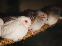 Closeup pigeons is sitting on the rope on blur background. Animal, Bird, Family Concept. Closeup pigeons is sitting on the rope on blur background royalty free stock photography