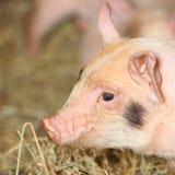 Closeup piglet pig Royalty Free Stock Photography
