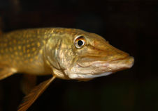 Closeup of a pike Stock Photo