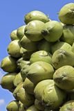 Closeup of pile of coconuts. On blue sky background, in the wholesale market of Largo do Pari. Sao Paulo, Brazil Royalty Free Stock Images