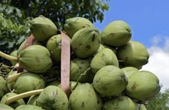 Closeup of pile of coconuts. On blue sky background, in the wholesale market of Largo do Pari. Sao Paulo, Brazil Royalty Free Stock Photography
