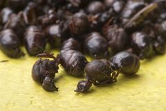 Closeup pile of edible roasted ants in Mexico Royalty Free Stock Photo