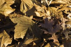 Closeup of a pile of fallen leaves in the setting sun stock image