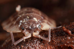 Closeup of pillbug Royalty Free Stock Photography