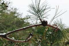 Closeup pine branch with cone in the winter forest. Closeup pine branch with cone in the winter snowy forest stock photography