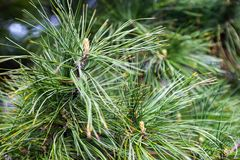 Closeup of the pine buds and needles Royalty Free Stock Image